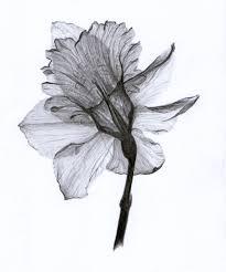 daffodil u2026 pinteres u2026