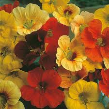 nasturtium flowers nasturtium tip top mixed seeds from mr fothergill s seeds and plants