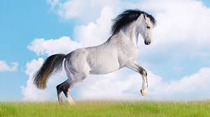 mustang horse running beautiful black and white horse running imgur