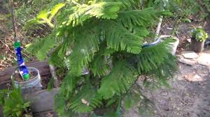 norfolk island pine tree youtube