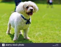 bichon frise breed standard a white fluffy dog bichon frise puppy with hair blowing in the