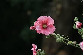 Hollyhock Flowers Free Photo Hollyhock Flower Garden Free Image On Pixabay