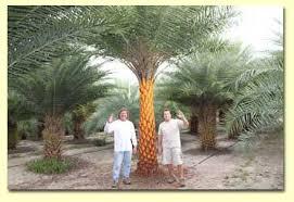 sylvester palm tree sale welcome to sylvestris tree farms in vero florida