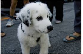 australian shepherd pictures aussiedor australian shepherd labrador retriever mix info and