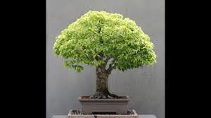bonsai tree meaning in