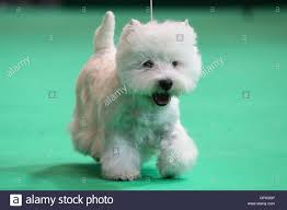 crufts bichon frise 2014 crufts breed stock photos u0026 crufts breed stock images alamy