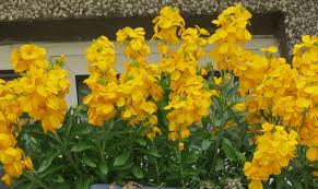 wall flowers how to grow wallflowers as perennials
