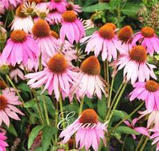 Echinacea Flower Echinacea Flowers Suppliers Best Echinacea Flowers Manufacturers