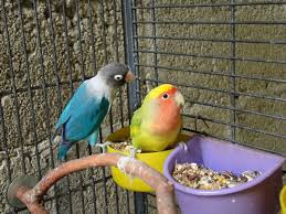 free images colorful cage lovebird birds pets parrot finch