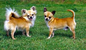 Chihuahua Dog Breed Information