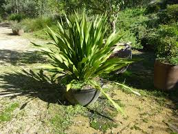 native pot plants growing gymea lilies gardening with angus