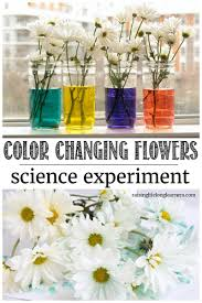 color changing flowers spring science experiment