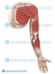 Human Shoulder Diagram Shoulder Anatomy Illustrations Healthy Shoulder Anatomy