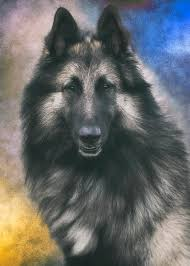 belgian sheepdog wolf mix belgian tervuren portrait 1 photograph by wolf shadow photography