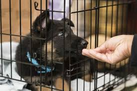 belgian shepherd how to train how to potty train a puppy american kennel club