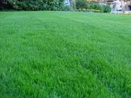 concimazione tappeto erboso fertilizzante per prato concime