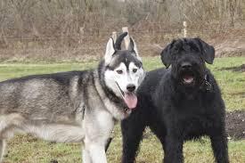 belgian shepherd vs husky resilience can we increase it in dogs