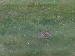 cute bunny in my backyard rabbits