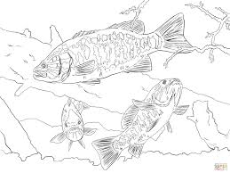 smallmouth bass coloring page free printable coloring pages