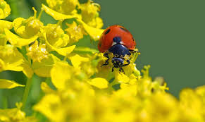what do ladybugs eat all about ladybugs new england today