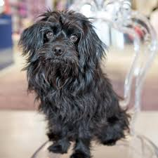 affenpinscher terrier mix old adopt page u2014 the vanderpump dog foundation