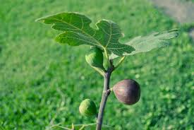 Judge A Tree By Its Fruit - how to tell when figs are ripe stark bro u0027s