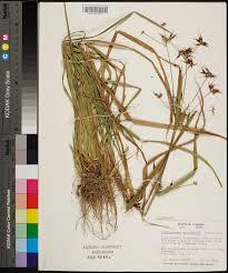 Ft Rucker Map Rhynchospora Corniculata Species Page Apa Alabama Plant Atlas