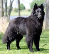 belgian sheepdog available beautiful black fluffy perfect belgian sheepdog u2022dogsssss