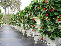plastic vertical hydroponics growing pots view strawberry and