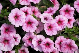 petunia flowers 2896x1944px petunia 3570 6 kb 304993