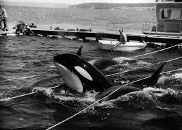 whale activists sue to free killer whale u0027lolita u0027 from captivity