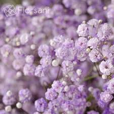 baby s breath lavender tinted baby s breath