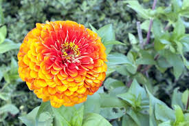 Zinnias Flowers Best Flowers For A Peace Garden