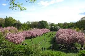 Botanical Garden In Bronx by Cherry Blossom Season Has Arrived In Nyc Despite The Terrible