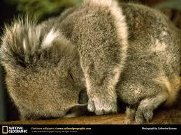 cute baby koala wallpaper wallpapersafari