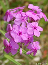 phlox flower phlox pilosa prairie phlox minnesota wildflowers
