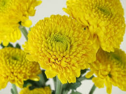 Yellow Pom Pom Flowers - associated cut flower co inc floral product gallery chrysanthemum
