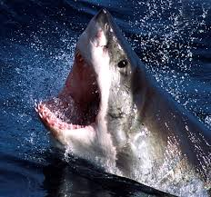 australian surfer survives great white shark attack says he u0027s