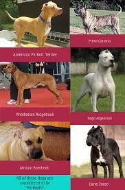 american pitbull terrier rhodesian ridgeback mix dz u0027s adventures bsl what is it