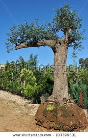 olive tree sale garden center stock photo 103396301