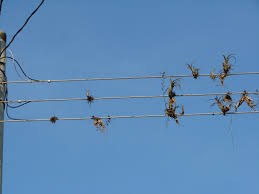 study reveals hazards of the high wire life for bromeliads