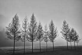 a row of trees in black and white stock photo image 13432740