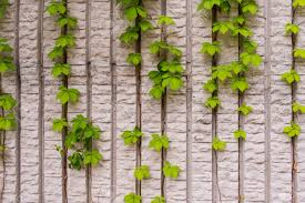 climbing plants on the wall stock photo picture and royalty free