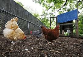 Chickens For Backyard Peachtree Corners Sets Public Comment Period On Backyard Chickens
