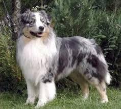 australian shepherd zucht deutschland australian shepherd ursprung rasse und zucht