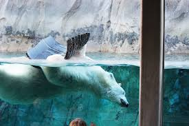 Zoo Lights Utah Hogle Zoo by Polar Bear At Hogle Zoo Diagnosed With Terminal Kidney Failure