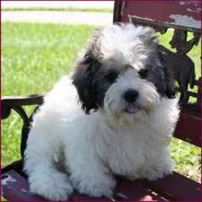 shichons haircut shichon animals pinterest teddy bear teddy bear dogs and dog