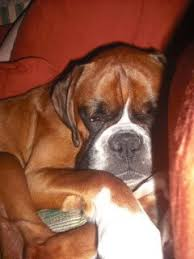 boxer dog 10 months 25 best ideas about boxer dog rescue on pinterest dog best
