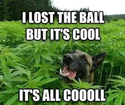 Stoned Dog Meme - these dogs are stoned out of their minds 21 photos cannabis