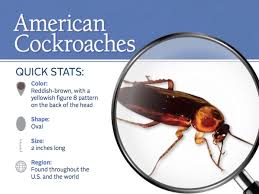 How To Get Rid Of Cockroaches In Kitchen Cabinets by American Cockroaches Control Facts U0026 Information